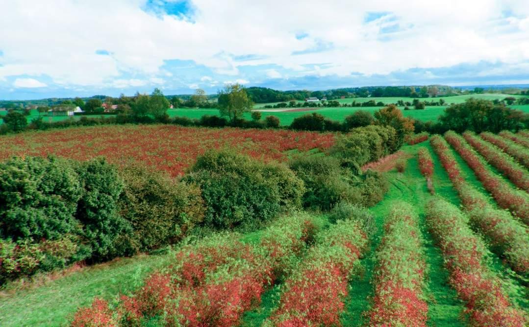Plantacja dzikiej róży